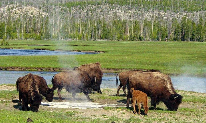 Colorado Bison, Photo: Daniel Meyer