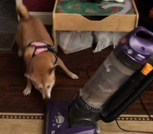 Dog Foxy playing with vacuum